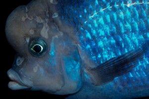 Дельфин голубой — аквариумная рыбка