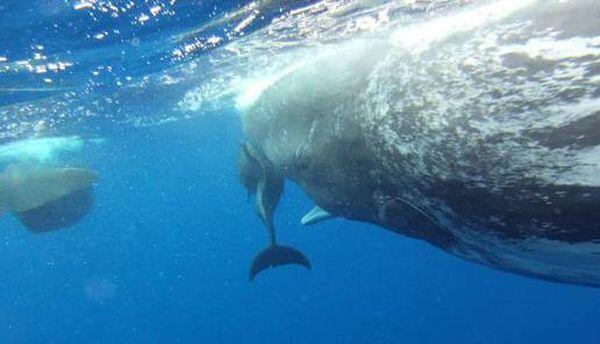 Delfin isključena prijateljstva sa spermom kitovima