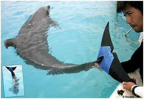 Delfin Fuji, star oko 40 godina, izgubio oko 75 posto svoje peraje kao rezultat amputacije, napravljen od bolesti tkiva.