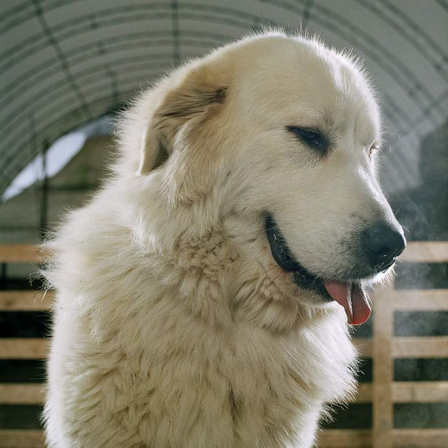 Pes, přezdívaný Lindsay - místní obyvatel jedné z farem.
