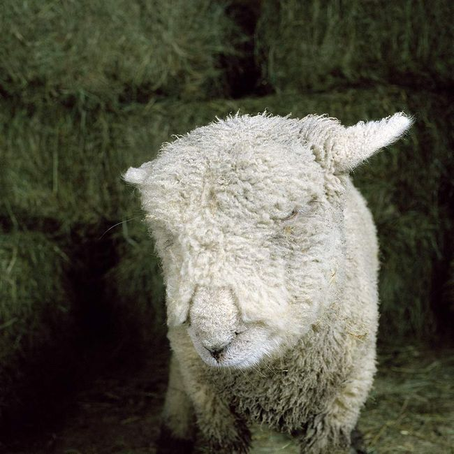 Sad ovce. Přirozenosti obyvatel farmy bylo dosaženo fotografa, jak chtěl.