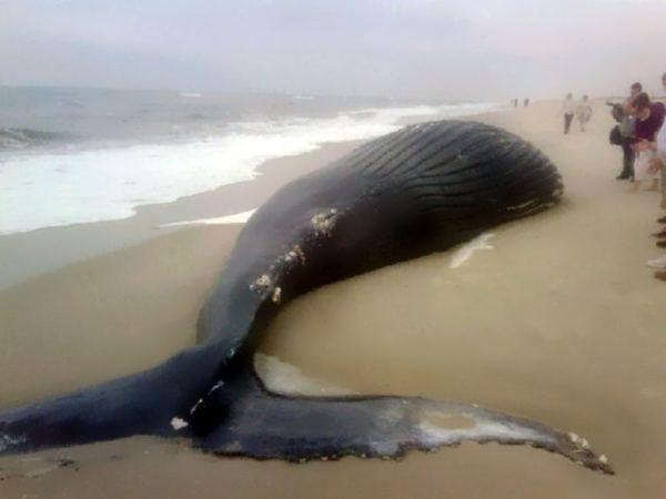 Zašto kitovi počine masovno samoubistvo