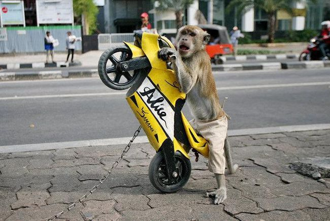 Mladunče makaki izgleda kao Albert Einstein
