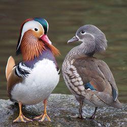 Дикая утка мандаринка, питание, размножение на воле, особенности размножения в домашних условиях