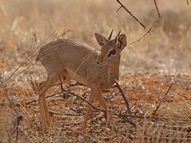Дикдики Гюнтера, как правило, активны по утрам и вечерам, а днем они скрываются в плотных зарослях кустарника.