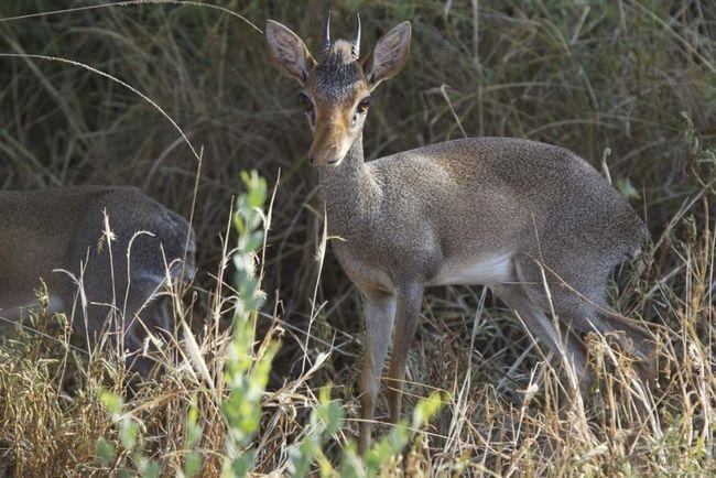 Дикдики Гюнтера — моногамные животные. Во время брачного сезона самцы сопровождают самок практически постоянно