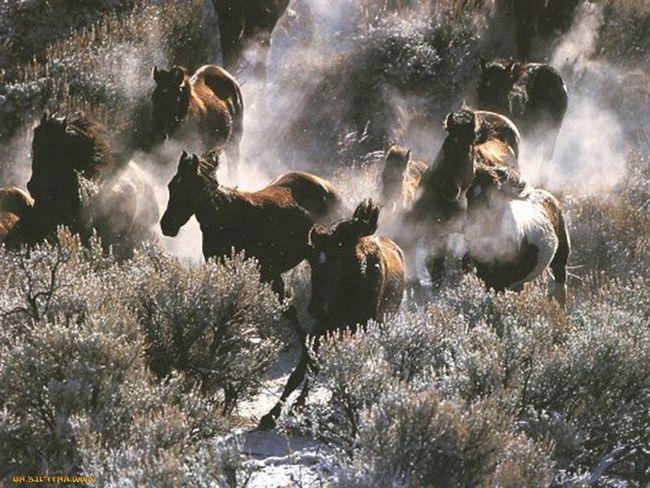 Mustanga žive u stadima od 10-20 životinja
