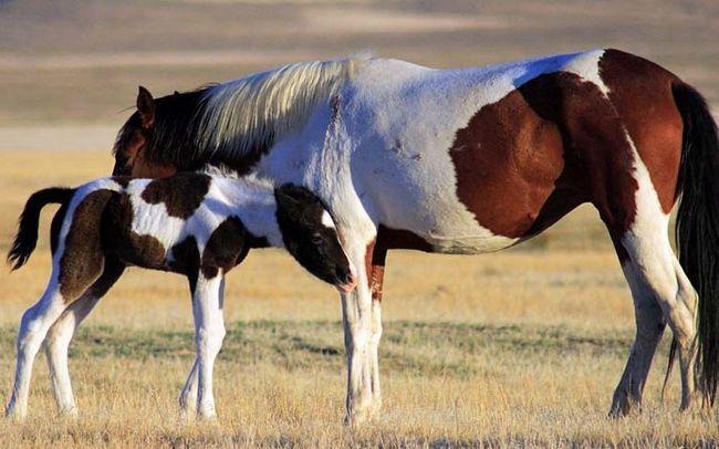 Mama Mustang s njom ždrijebe