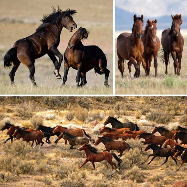 Mustang - Wild Horses