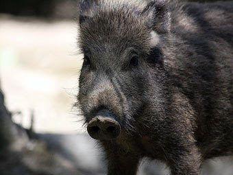 U Njemačkoj je, gladan svinja upala u mesara, prenosi Metro. Incident se dogodio prije nekoliko dana u malom mjestu Heer-Grenzhausen na zapadu zemlje.