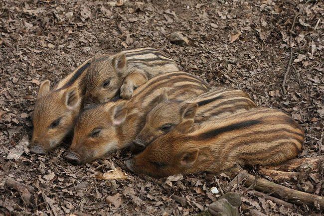 Prasiatka sa rodia s pruhované a váži asi 900 g