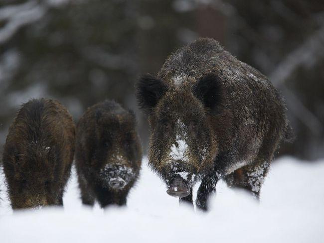 Kance kopať sneh pri hľadaní potravy