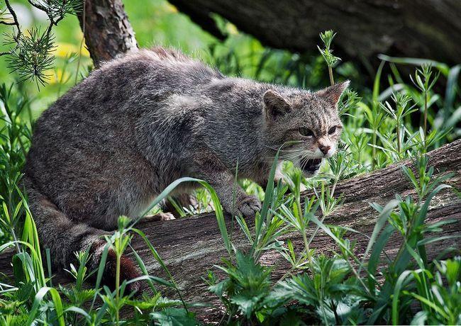 Divlja divlja mačka (Felis silvestris).