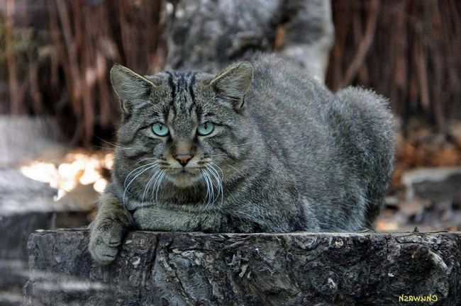 Divlje šumske mačke su uobičajene u Europi i na Kavkazu.