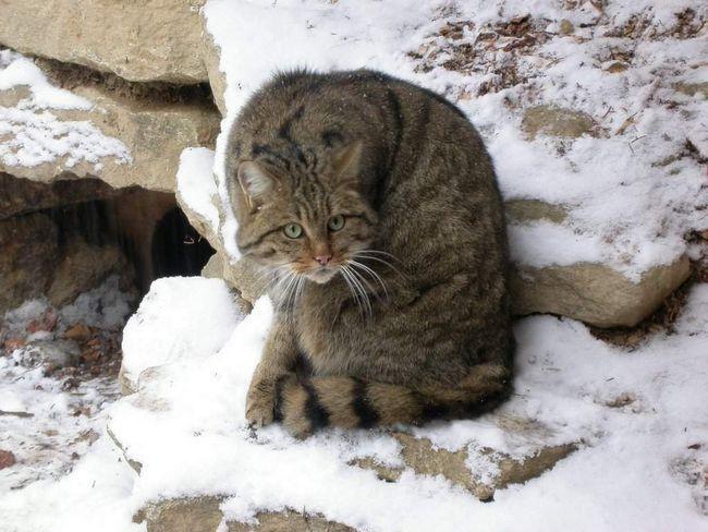 Divlje mačke - preci svih domaćih mačaka.