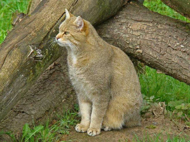 U divljini šuma mačke oštre kandže i jake noge.