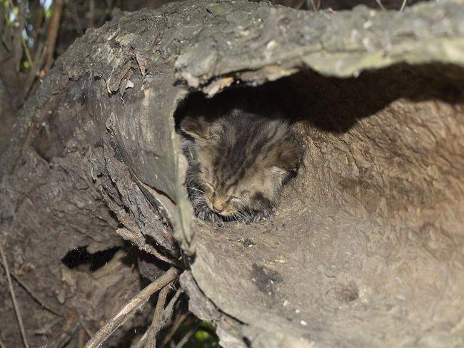 divlja šumska mačka tele krije u roditelja