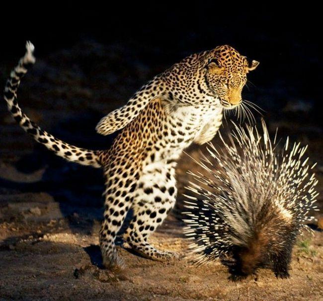 Леопард решил атаковать дикобраза