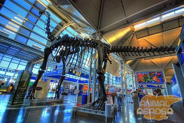 Brachiosaurus kostur u zračna luka Chicago