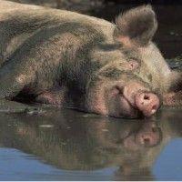Дизентерия при свинете