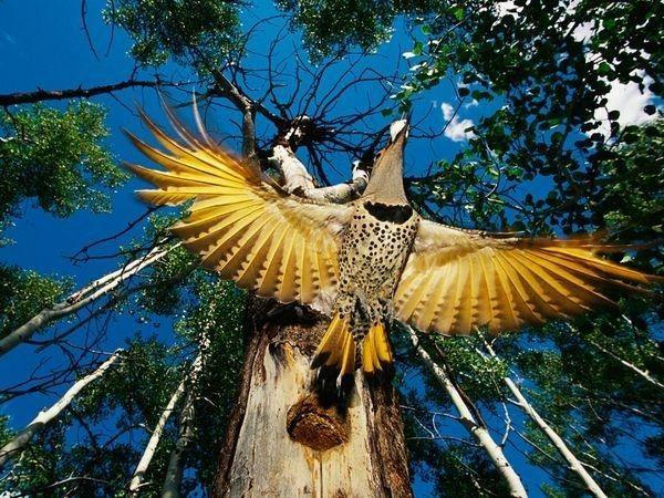 Gold Woodpecker v letu. Jen viděl otevřené křídla lze pochopit, proč tento druh zlata s názvem