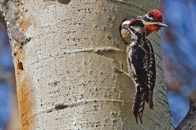 Muž datel usadil v dutém břízy, žena dorazila k jejich prohlédnutí. Woodpecker většinu práce na uspořádání zásuvky dělá male