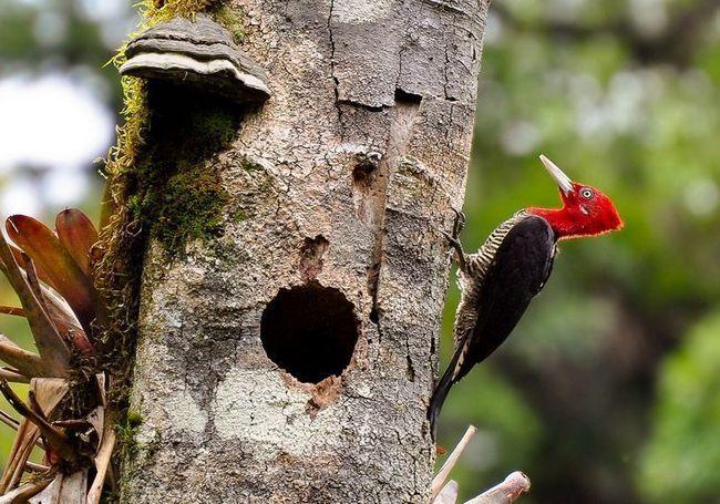 Červené hlavy královský datel (Campephilus robustus)