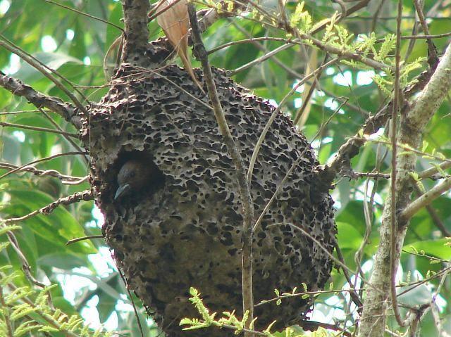 Auburn datel (Micropternus brachyurus) vykoukne ze slot mravenci ohně
