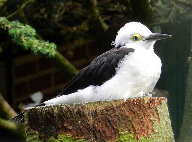 White datel (Melanerpes candidus) je původem z And je atypický pro tyto ptáky v barvě bez šmouh