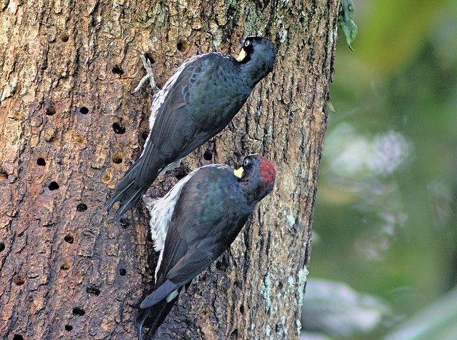 Dvojice žaludu, nebo mravenec datel (Melanerpes formicivorus) pracuje na komora. Samec na hlavě červenou čepici, žena hlava zcela černá