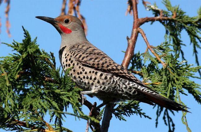 Gold Woodpecker (Colaptes auratus)
