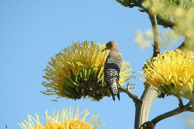 Cactus datel (Melanerpes uropygialis) zkoumá obří květenství agáve při hledání nektaru a drobného hmyzu