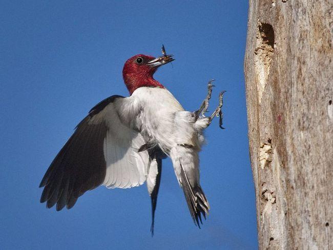 Red Heads datel letí s jídlem, aby hnízda
