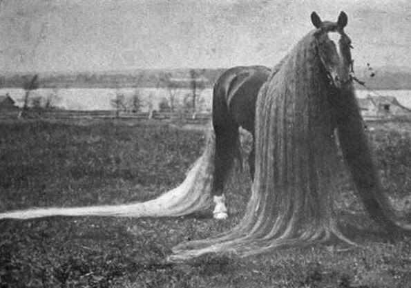Dlinnogrivy rekorder - konj Linus (Linus)