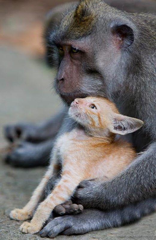 Long-tailed makaki Otkriveno đumbir mače