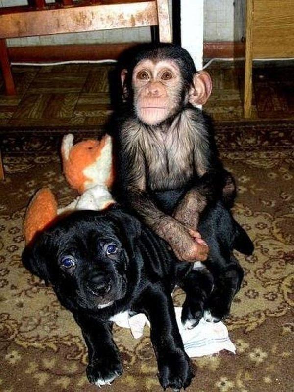Pro malý šimpanz matka se stal pes