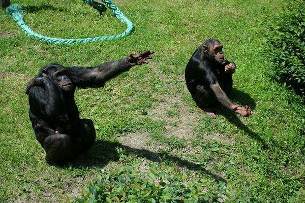 Sastavio sveobuhvatnu rječnik čimpanza pokrete