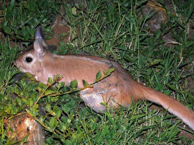 Долгоног, или капский долгоног (лат. Pedetes capensis)