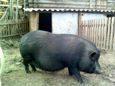 Домашнее разведение вьетнамских свиней