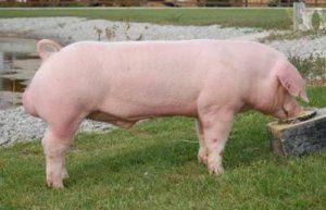 Мясные свиньи растут довольно быстро