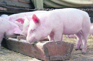 Нельзя забывать и про воду, в которой нуждаются свиньи