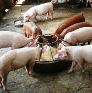 Чтобы откормить свинью, нужно применить специальный рацион