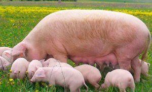 Для случки важно отобрать лишь здоровых свиней