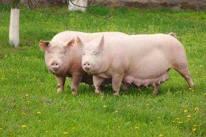Нельзя постоянно держать свинью взаперти, нужно выпускать животное на прогулки