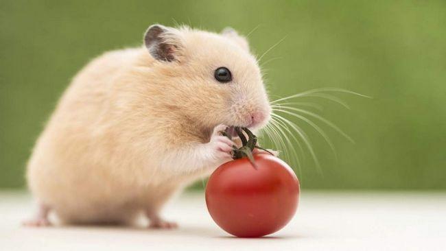 Hamster ve vaší domácnosti.