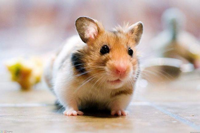 Jaký druh výcviku jsou potřebné pro zdraví křečka?