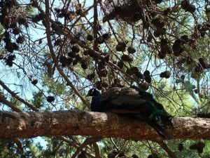 Павлины в дикой природе