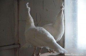 Белые павлины в домашних условиях