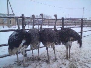 Домашние страусы
