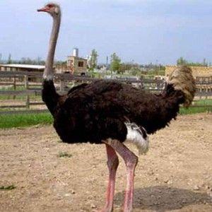 Домашний страус